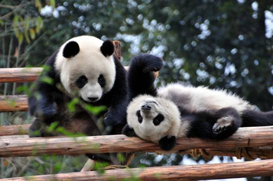 可爱的国宝大熊猫